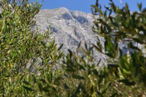 Kroatisches Olivenöl zählt zu den besten weltweit